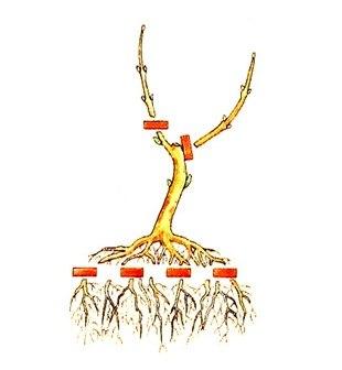 Как сформировать крону дерева в домашних условиях 534